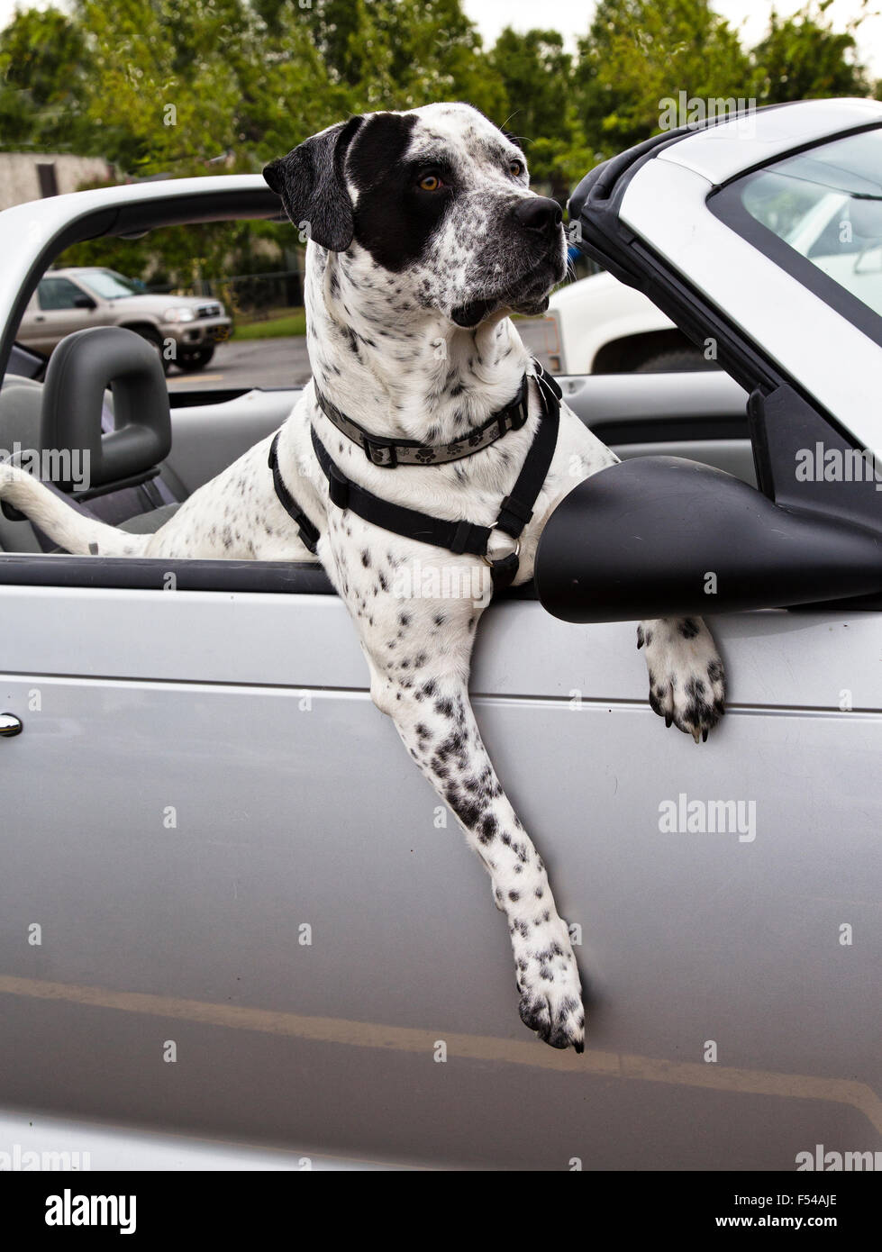 American Bulldog crossed with German Short-haired Pointer out for a ride. - Stock Image