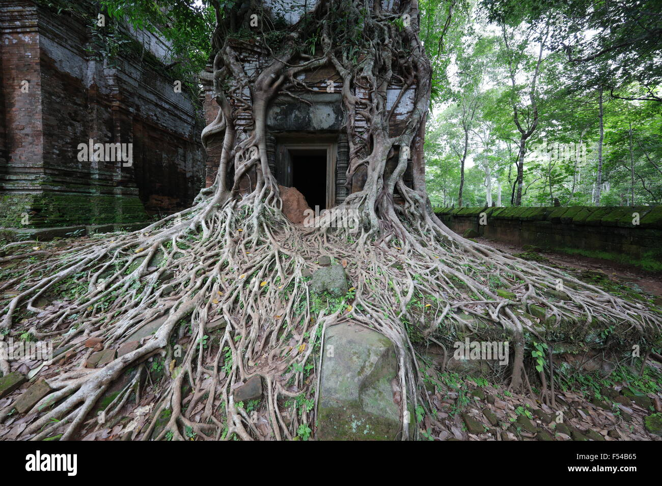 Roots flowing off temple in Koh Ker, Cambodia - Stock Image