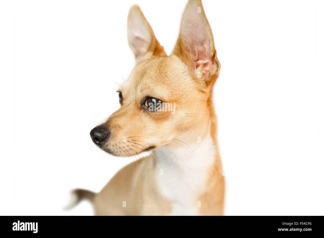 Cute dog with pointy ears - Stock Image
