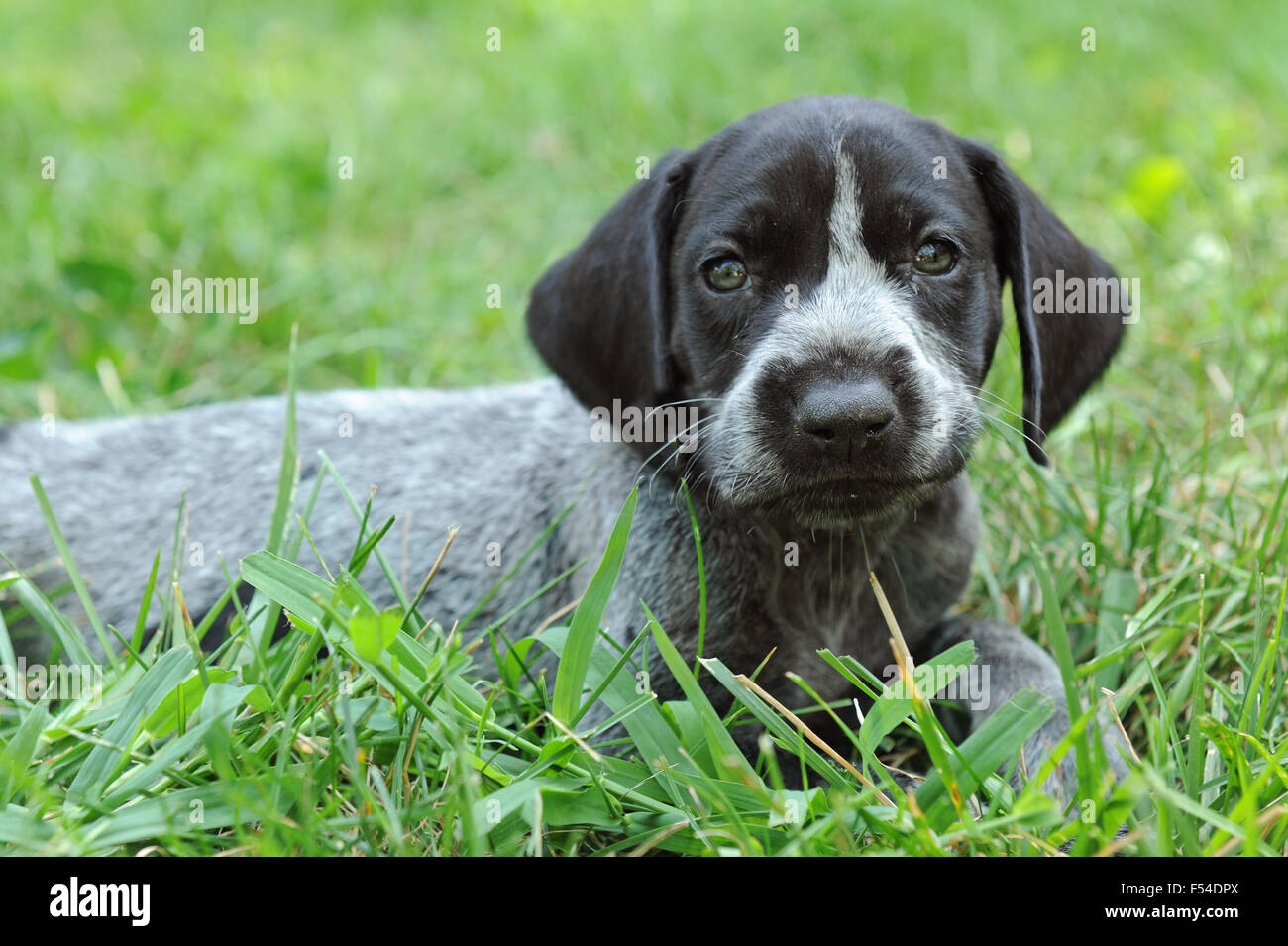 31cce37e1fe Short Haired Stock Photos & Short Haired Stock Images - Alamy