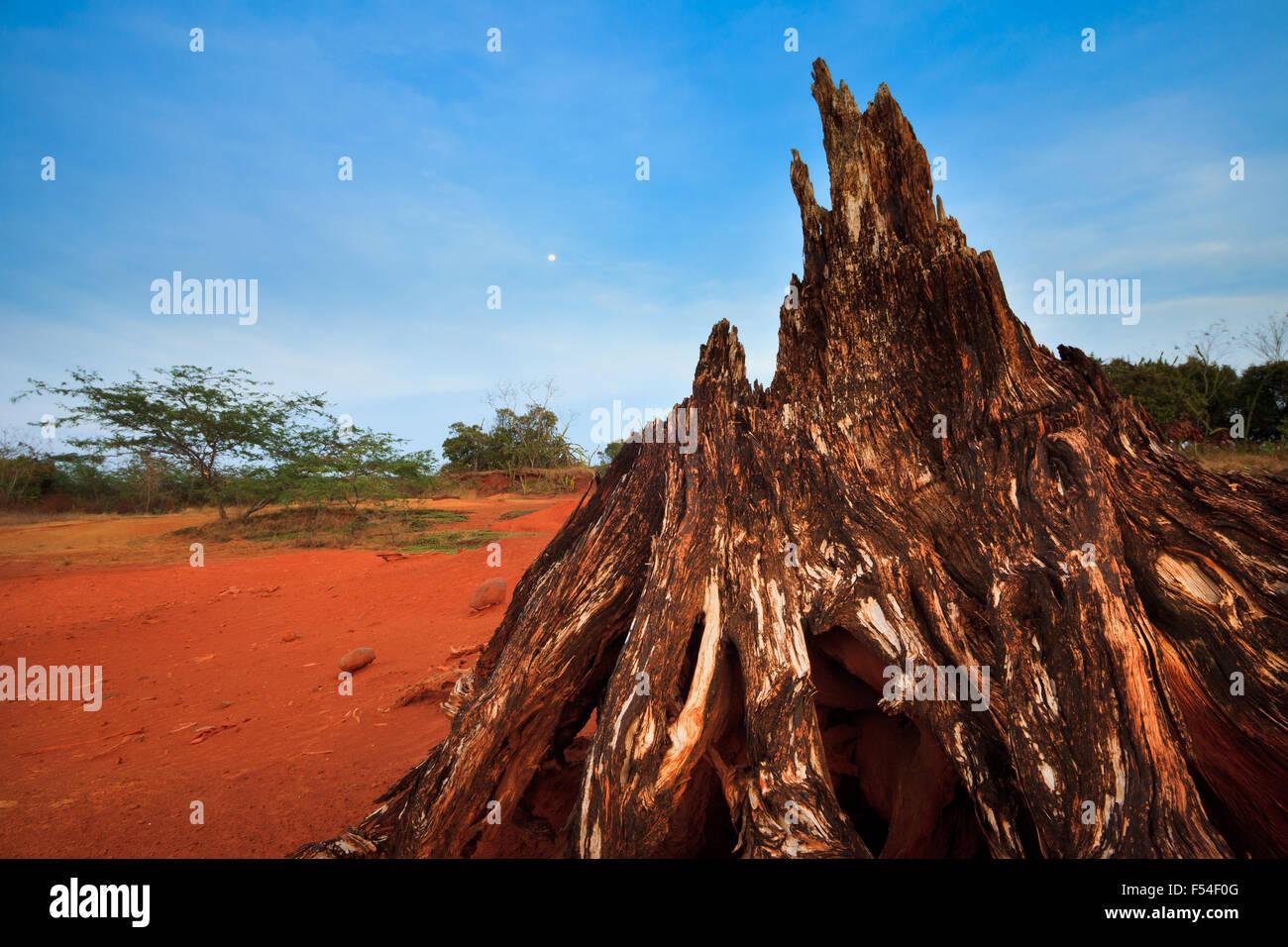 Dry tree root at twilight in Sarigua national park (desert), Herrera province, Republic of Panama. Stock Photo