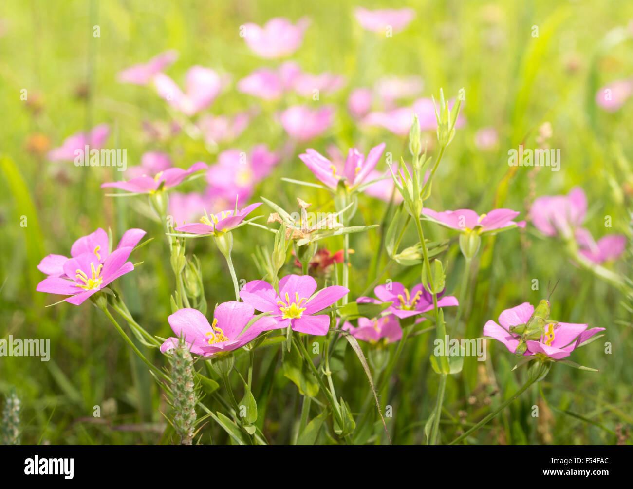 Meadow Pink Sabatia Campestris Flowers Growing On A Sunny Summer