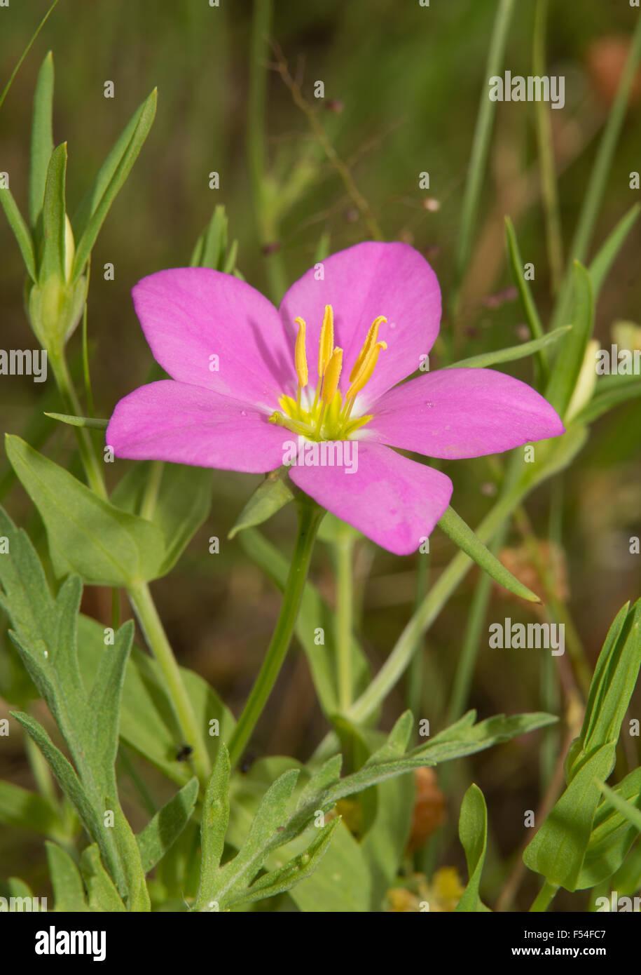 Meadow Pink Sabatia Campestris Flower In Summer Stock Photo