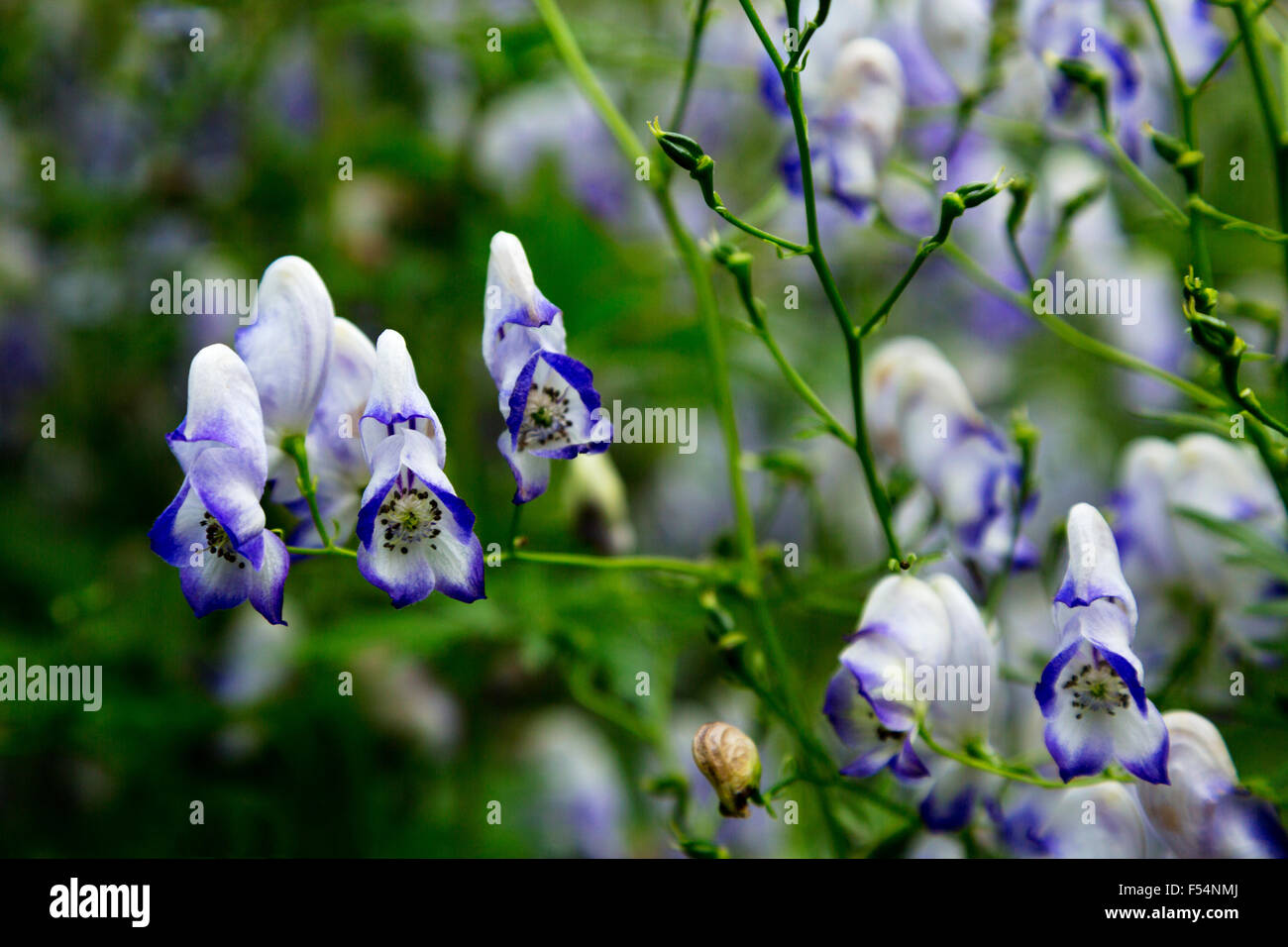 Toxic Plant Of Monkshood Stock Photos Toxic Plant Of Monkshood