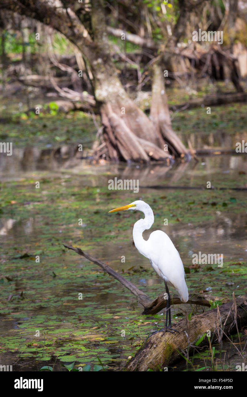 Great Egret standing in river in the Florida Everglades, United States of America - Stock Image