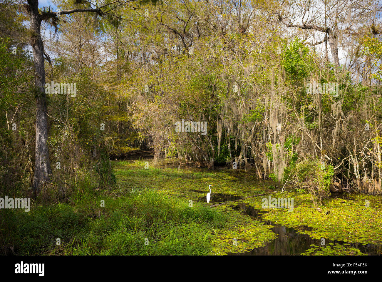 Great Egret in wetlands swamp in the Florida Everglades, United States of America - Stock Image