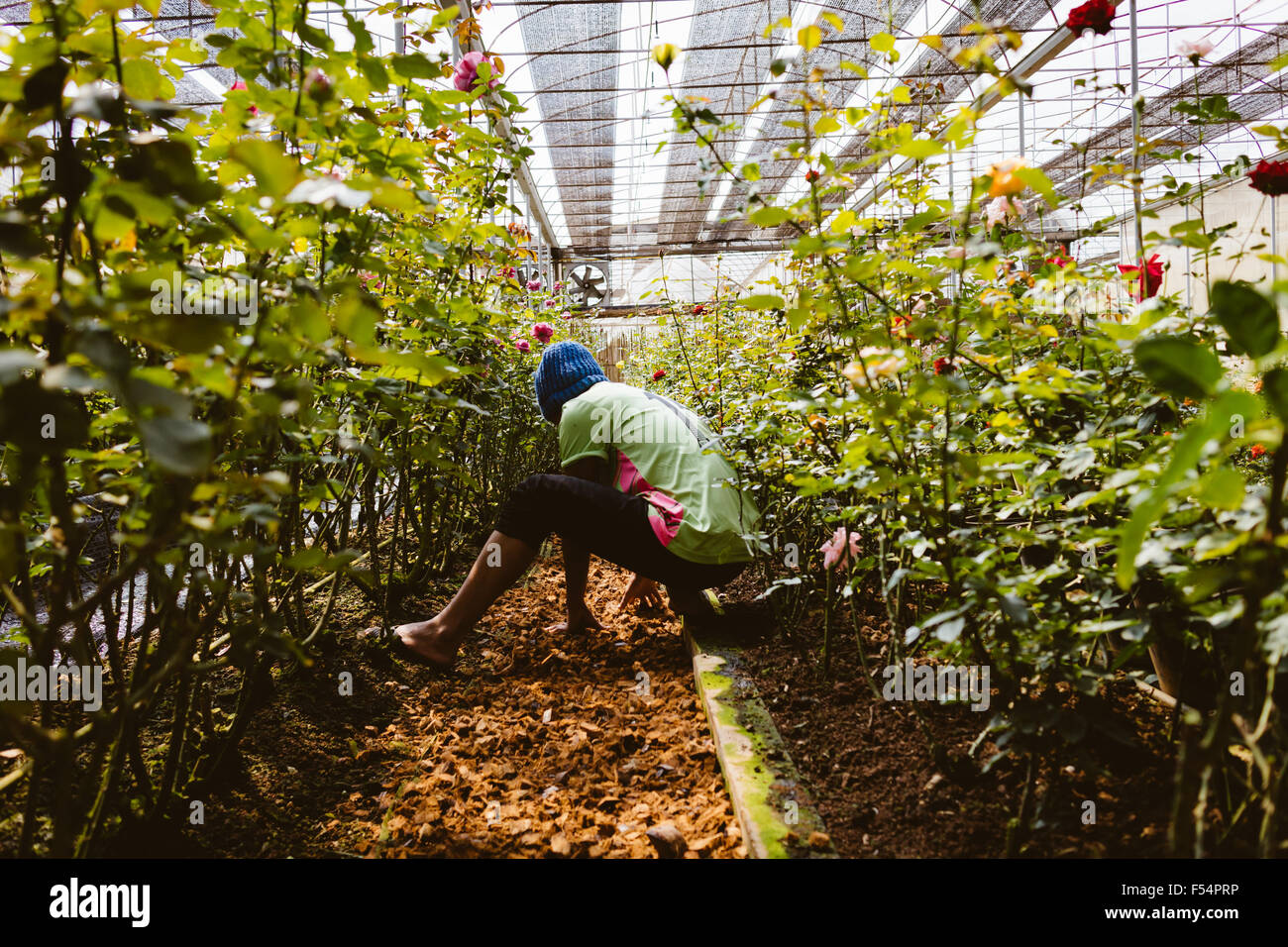 farmer working in rose flower garden in day time with color filter ...
