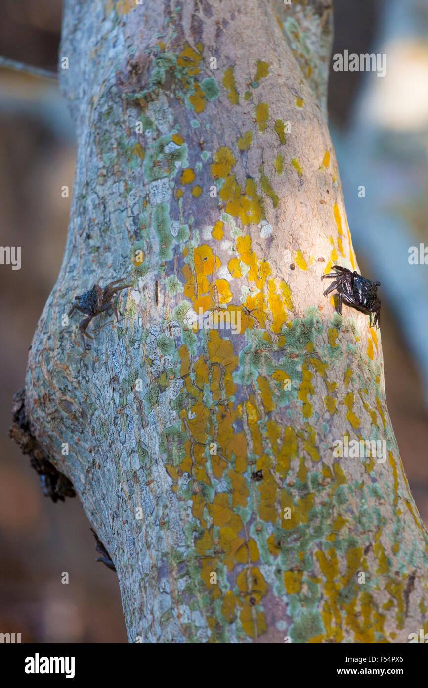 Mangrove Tree Crabs, Aratus pisonii, at J.N. Ding Darling National Wildlife Reserve, Captiva Island, Florida, USA - Stock Image