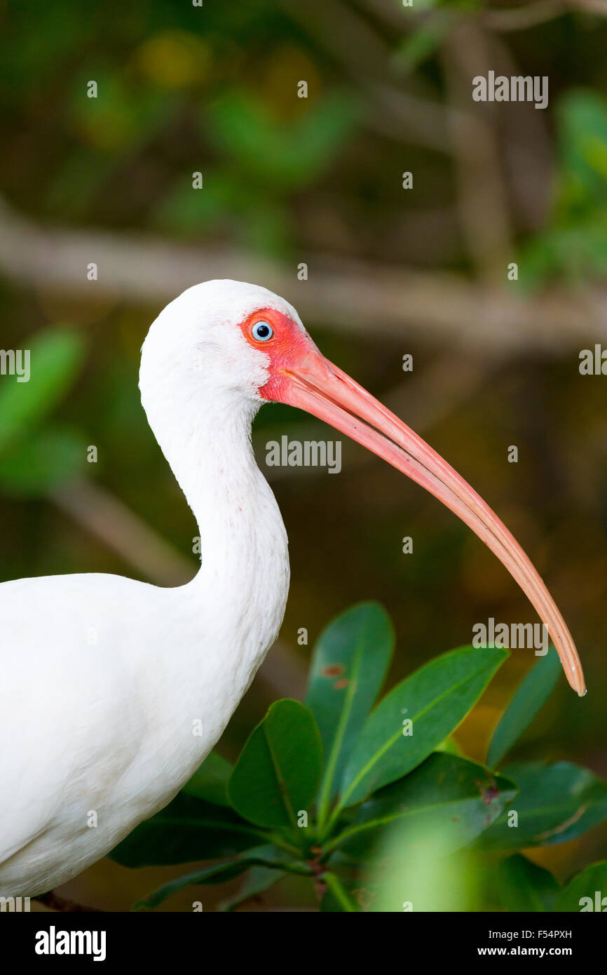American White Ibis, Eudocimus albus, a wading bird with long curved bill, on Captiva Island, Florida USA - Stock Image
