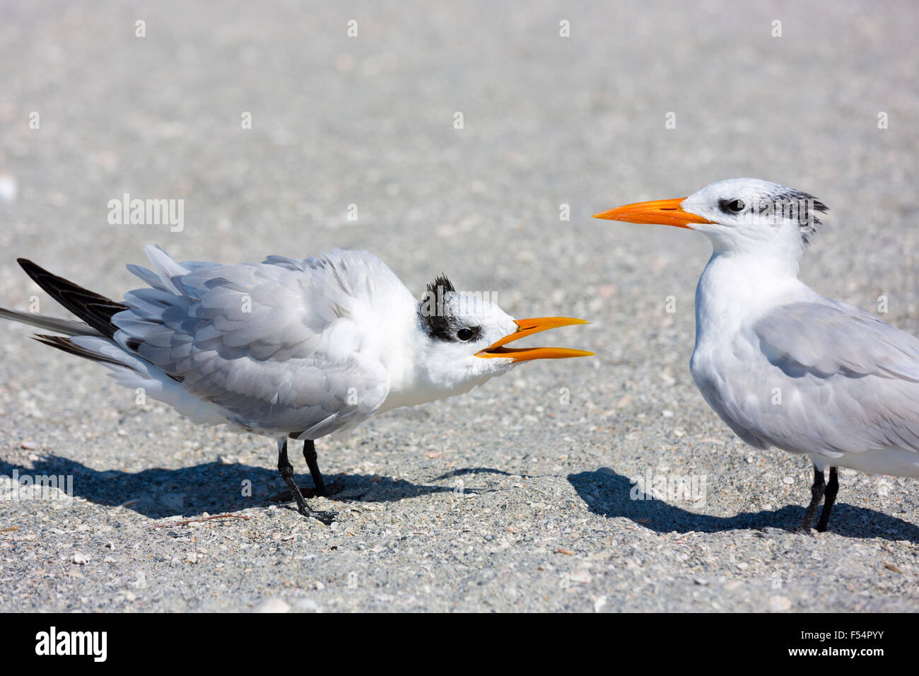 Pair of Royal Terns squabble in conversation, one talking and the other listening, on the beach at Captiva Island, - Stock Image