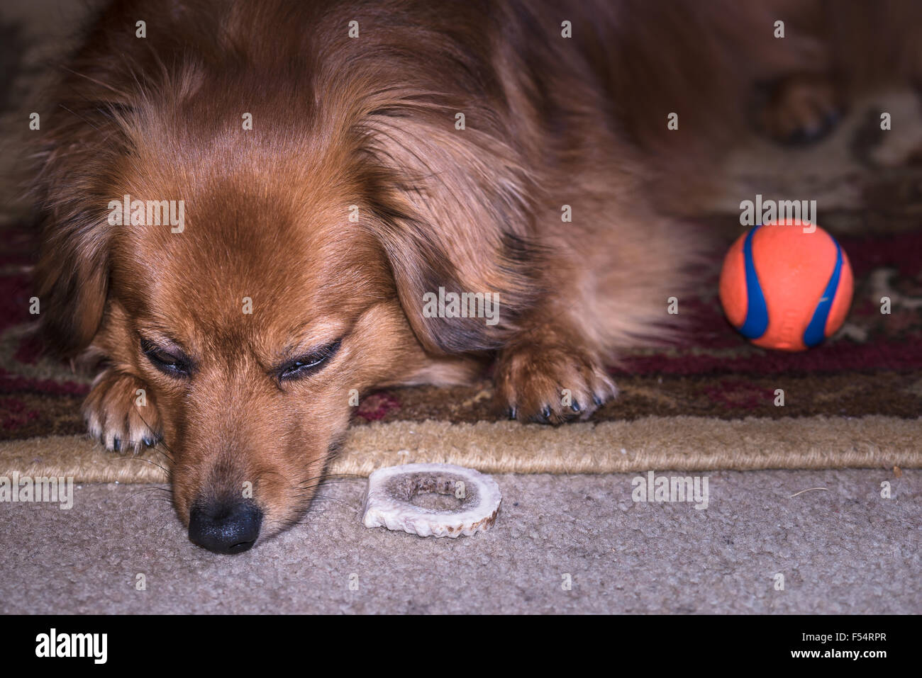 Cute dog but sad faced, or maybe just tired... next to his favorite ball. Stock Photo