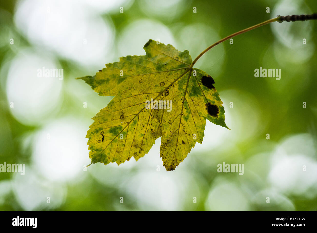 Maple leaf in Autumn with tar spot fungal disease - Stock Image
