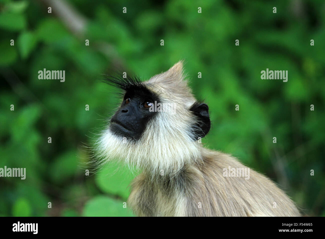 Gray langurs or Hanuman langurs, the most widespread langurs of South Asia, are a group of Old World monkeys. - Stock Image