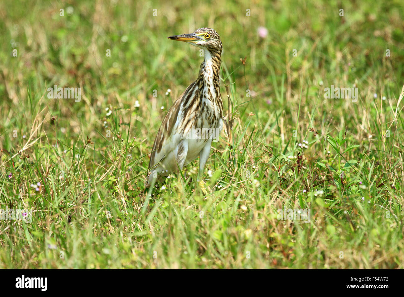 The Indian pond heron or paddybird (Ardeola grayii) is a small heron. - Stock Image