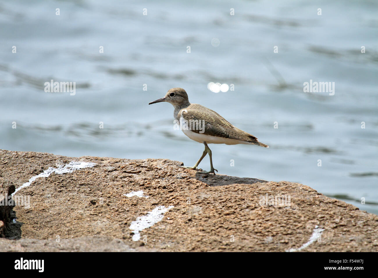 The common sandpiper (Actitis hypoleucos) is a small Palearctic wader. - Stock Image