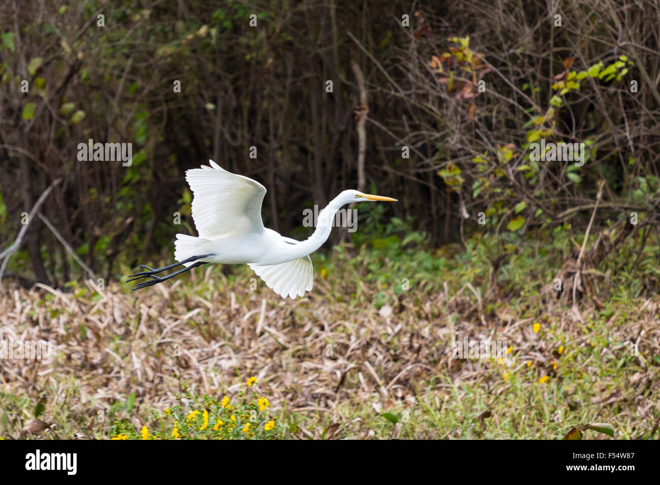 Great Egret bird, Ardea alba, soaring in flight in Atchafalaya Swamp National Wildlife Reserve, Louisiana USA - Stock Image