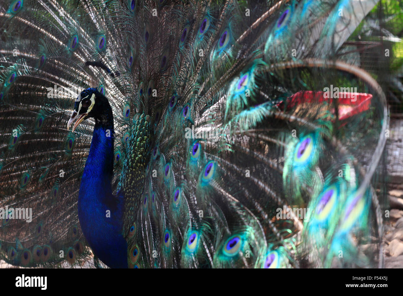 A blue peafowl (Pavo cristatus) spreads his feathers to attract female peacocks - Stock Image