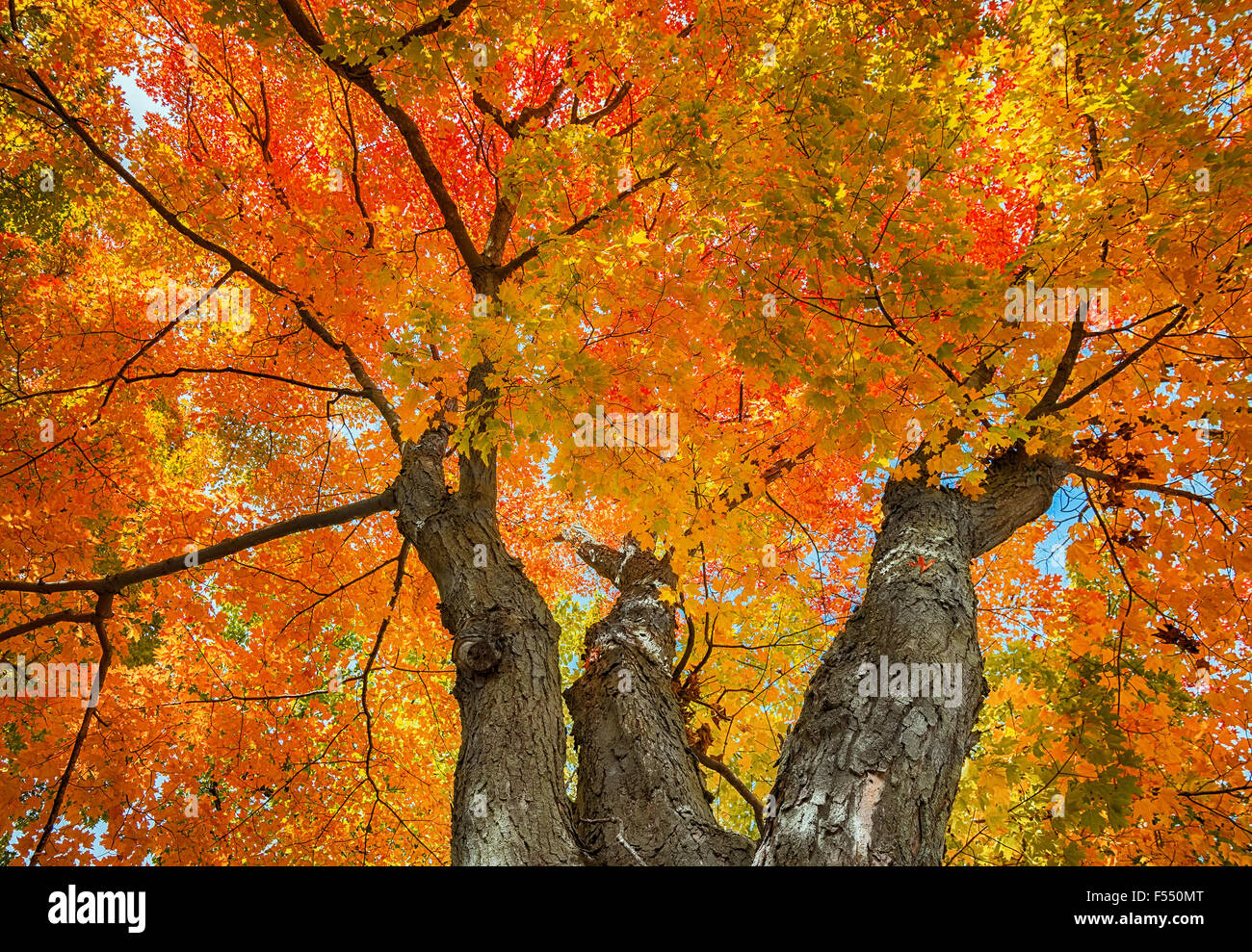Large Old Tree Autumn Leaves Yellow Stock Photos & Large
