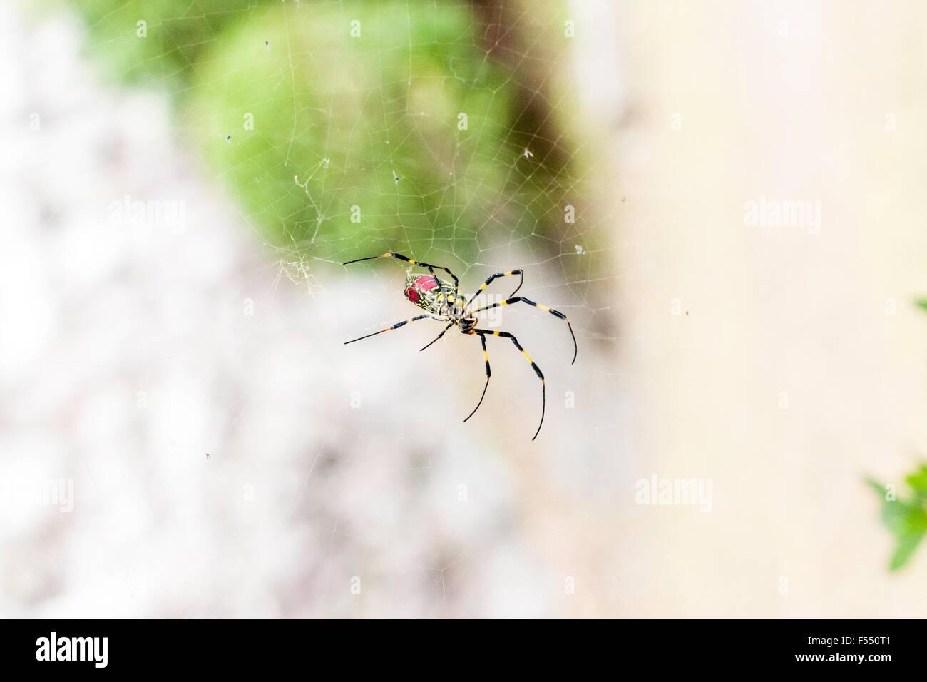 Japan. large Yellow & Red Spider. Tetragnathidae, Nephila clavata, Joro spider from the Golden orb-web spider - Stock Image