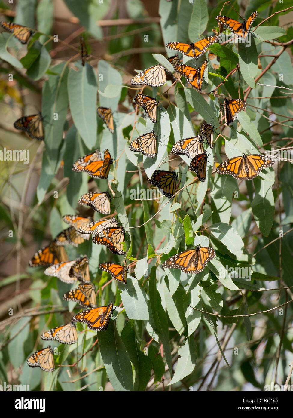 Monarch Butterflies (Danaus plexippus) - Stock Image