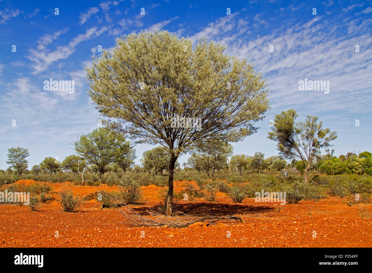 Large Mulga Tree Acacia Aneura Growing In Red Soil Of Outback Stock