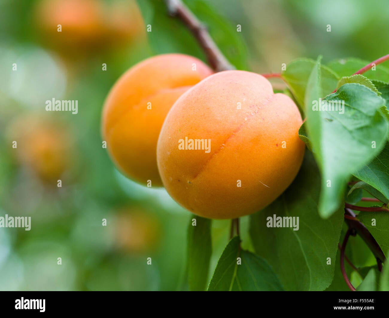 Two Apricots ripening on the tree. Two almost ripe apricot fruits hang from a leafy branch. - Stock Image