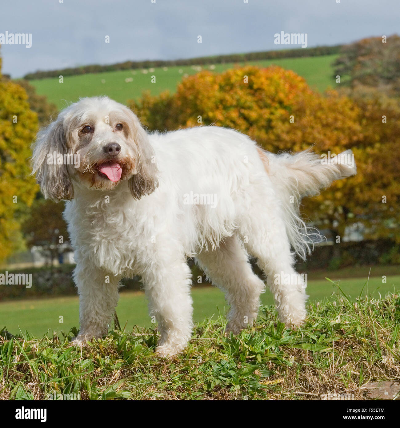 cockapoo Stock Photo