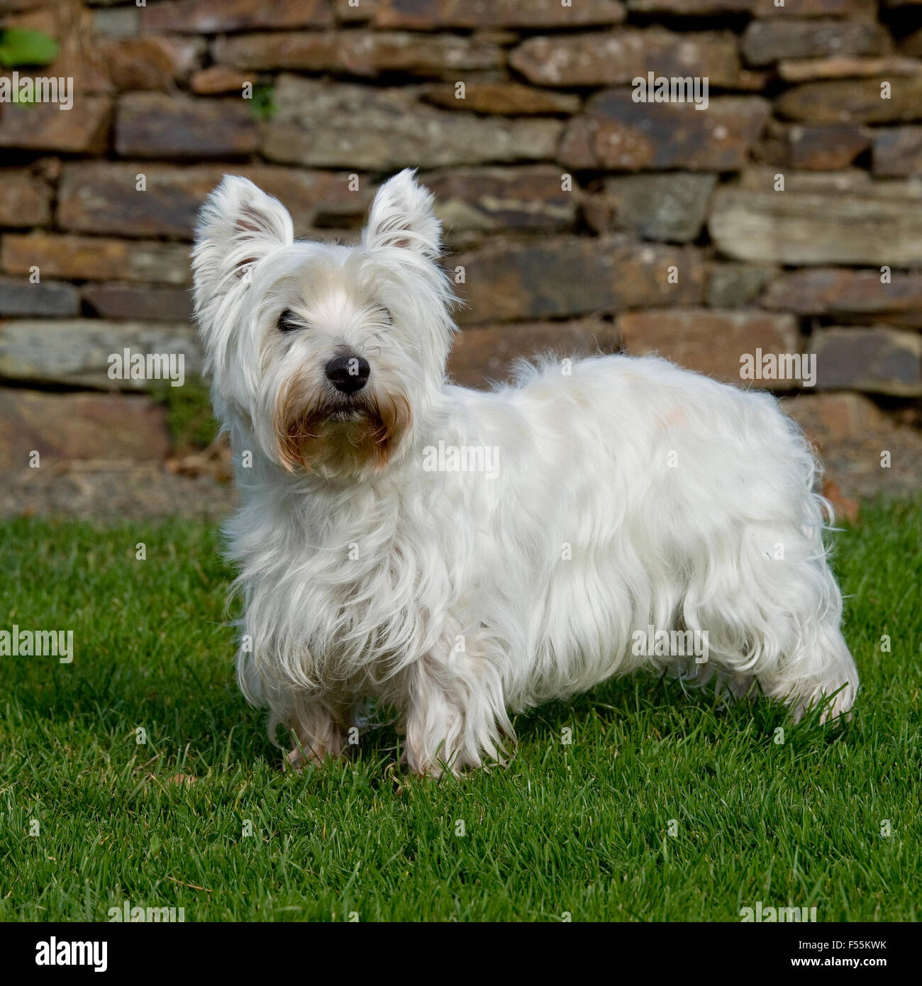 West Highland White Terrier Westie Dog Stock Photos & West