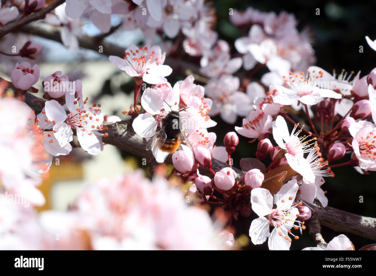 19.03.2014, Zuerich, Canton Zurich, Switzerland - Red mason bee collects nectar on a cherry blossom. 00S140319D007CAROEX.JPG Stock Photo