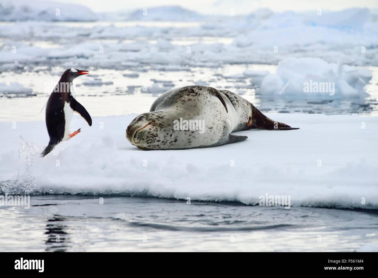 Jumping Penguin & Leopard Seal! Stock Photo