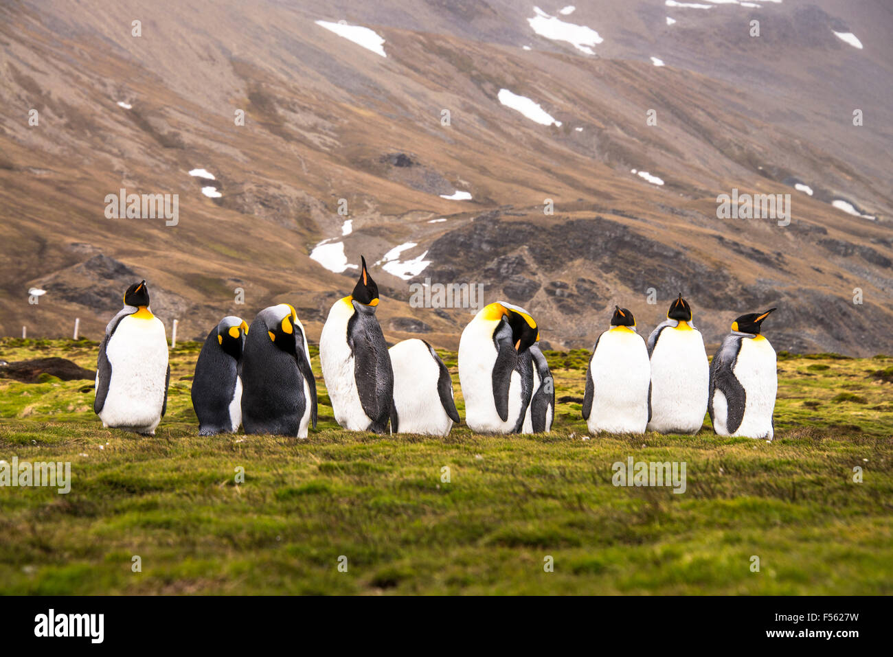 A group Of King Penguins! Stock Photo