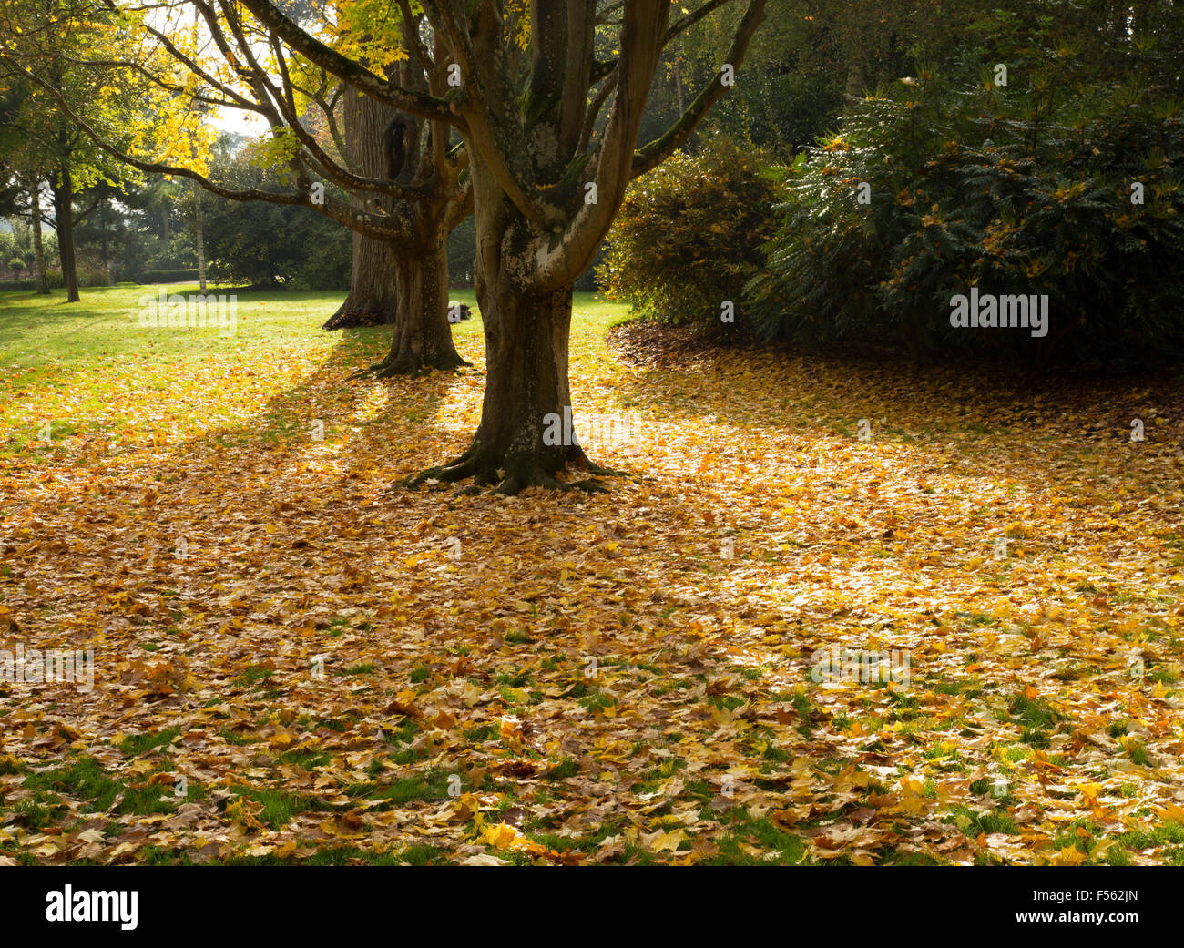 Beautiful Carpet Of Autumn Fall Leaves Under Trees On A