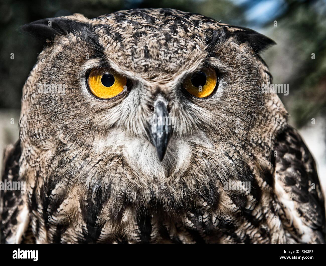 Bengalenuhu, Indischer Uhu, bubo bangalensis, Buho de Bengala, Buho Real Indio, eagle owl, indian eagle owl - Stock Image