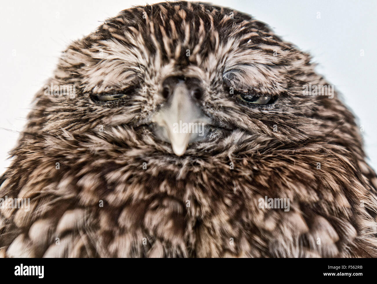 Europaeischer Steinkauz, Athene Noctua, little owl - Stock Image