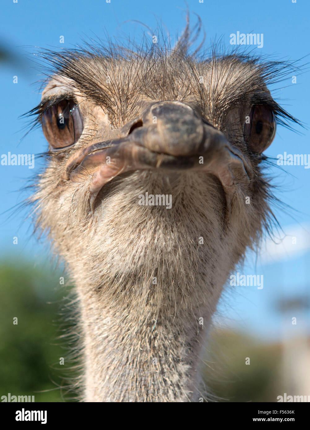 Strauss, Vogelstrauss, ostrich, Afrikanischer Strauß, Struthio camelus - Stock Image