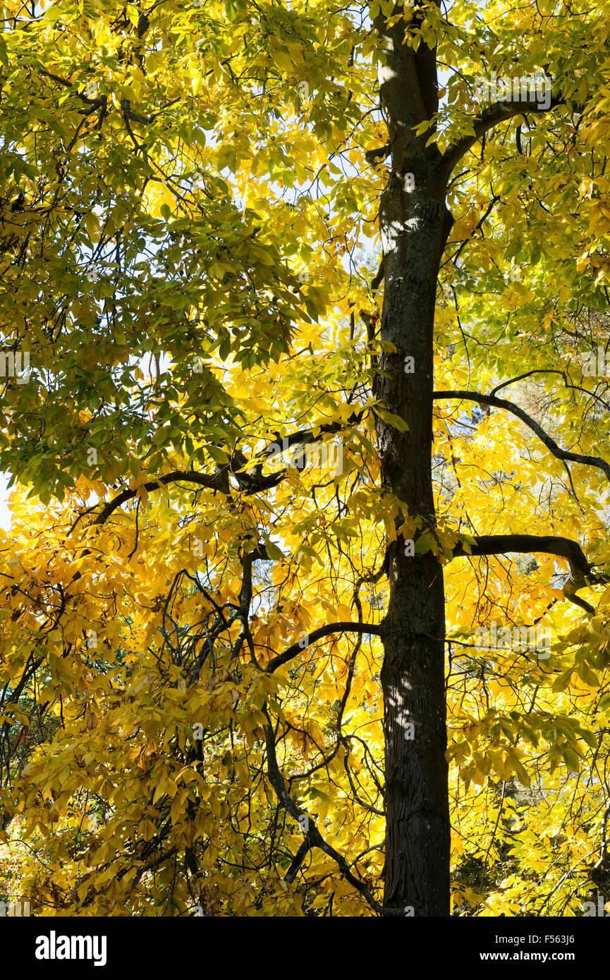 Carya ovata. Shagbark hickory tree in autumn - Stock Image