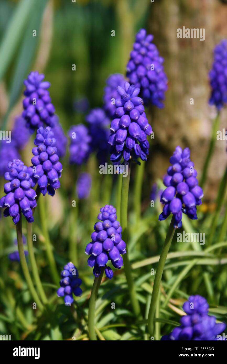 grape hyacinth, blue bell, bluebell flower, spring flowera ...