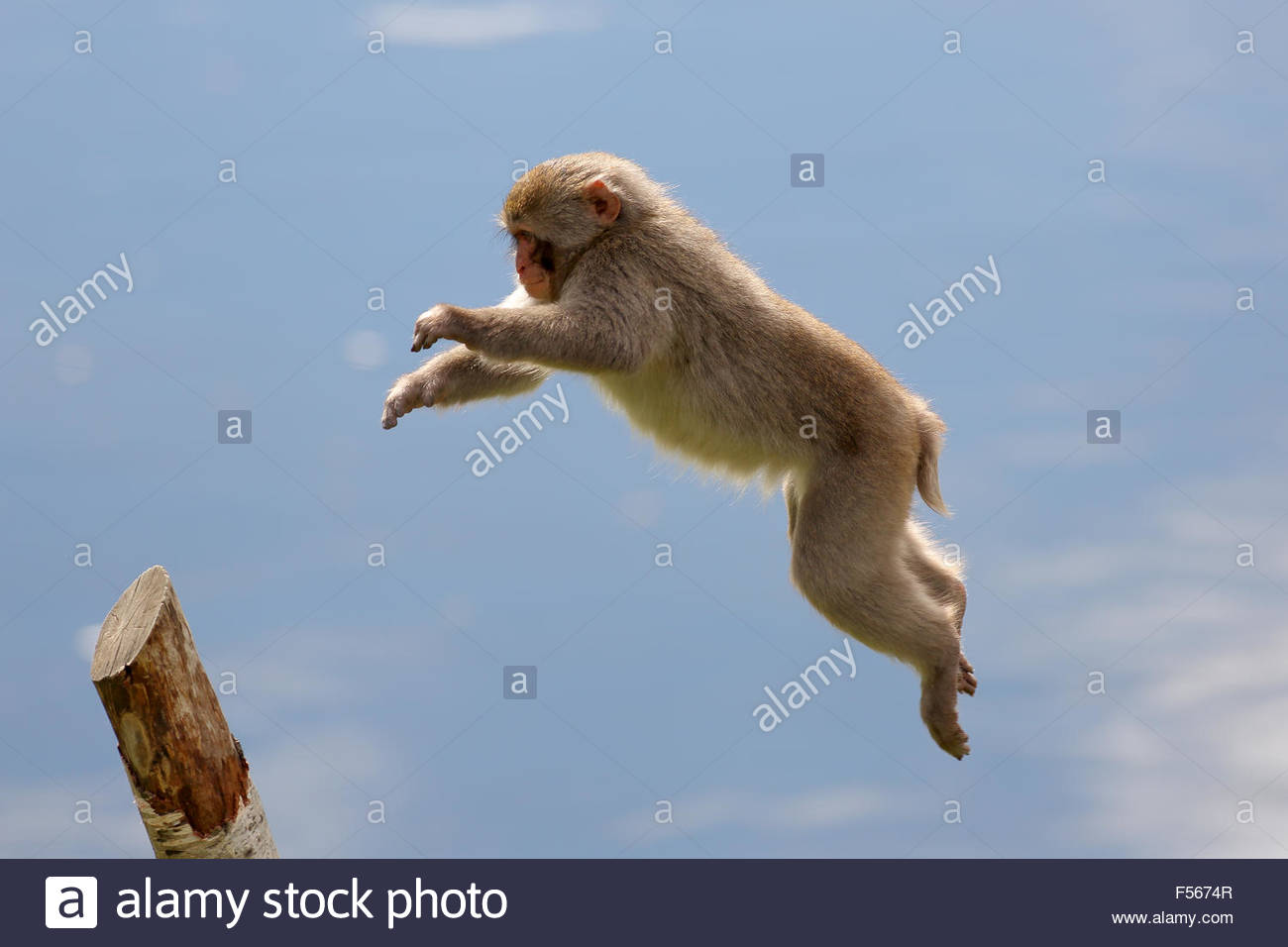 A Japanese macaque photographed in mid air leaping across water to get to a tree stump. - Stock Image