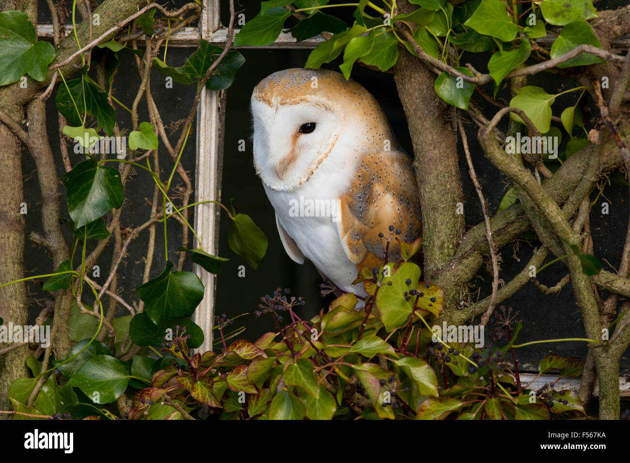Barn Owl; Tyto alba Single in Ivy Covered Window Cornwall; UK - Stock Image