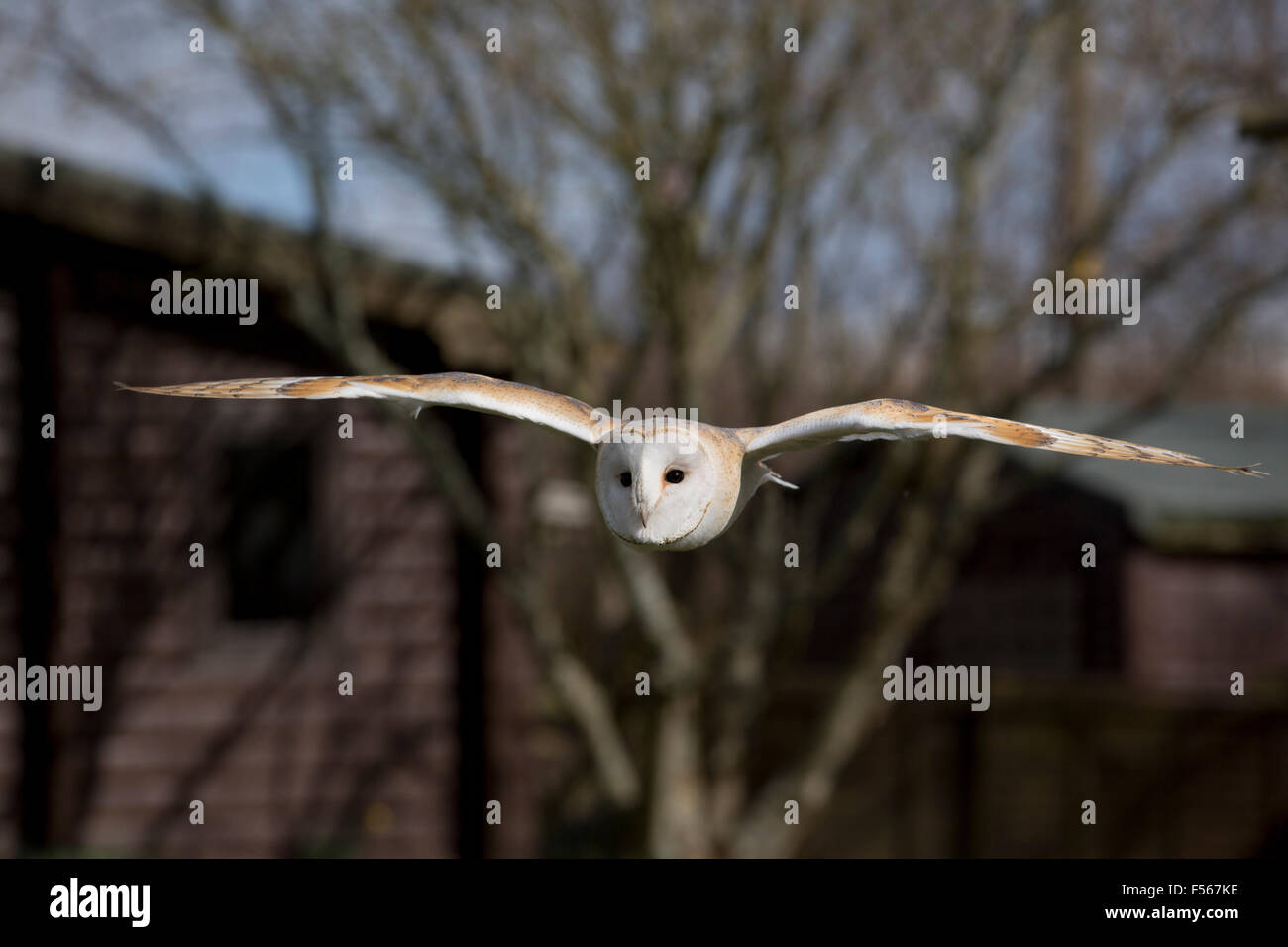 Barn Owl; Tyto alba Single in Flight; Cornwall; UK - Stock Image