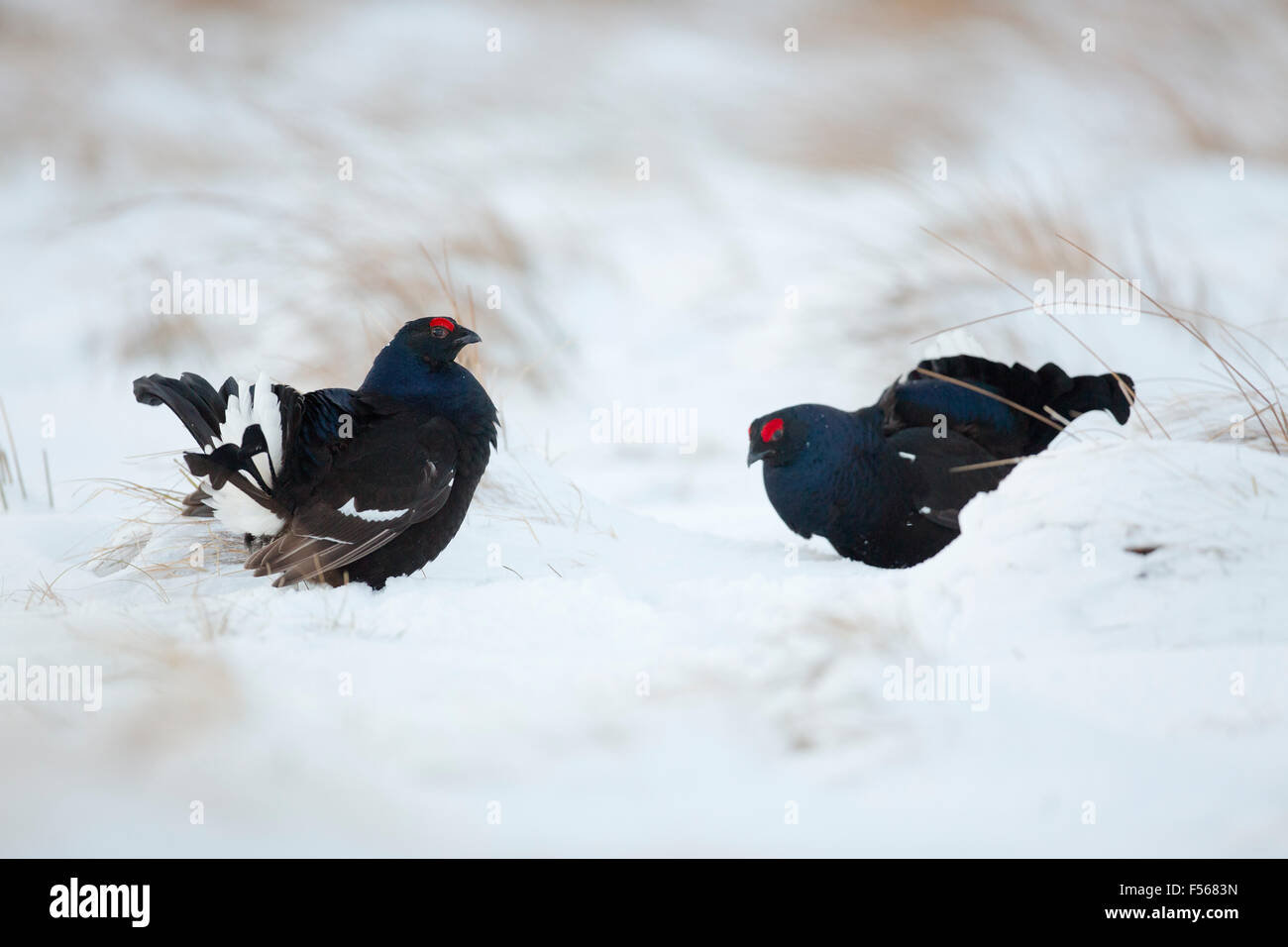 Black Grouse; Tetrao tetrix Two Males; Lekking in Snow; Scotland; UK - Stock Image