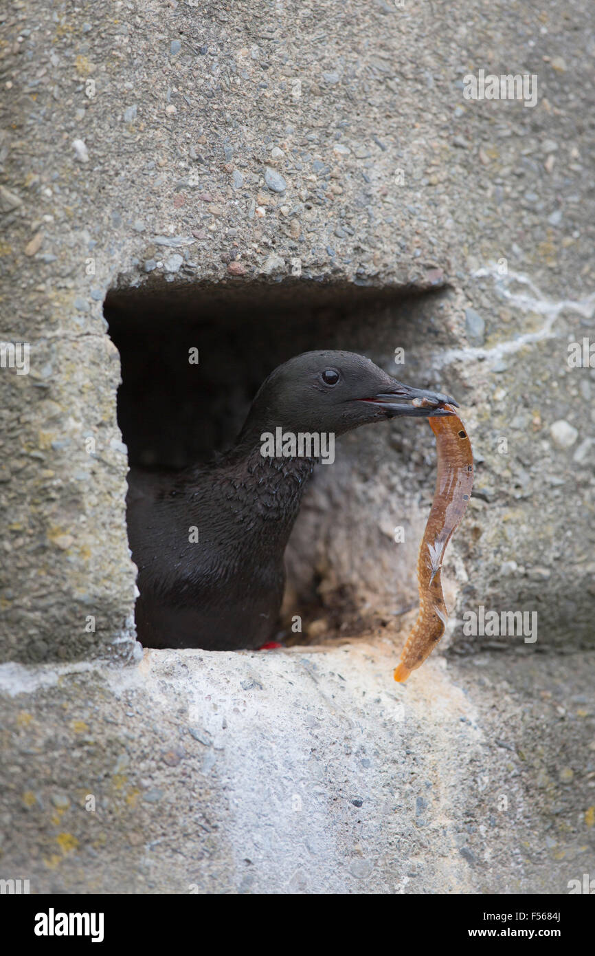 Black Guillemot; Cepphus grylle Single Emerging from Nest Hole in Wall with Butterfish Isle of Man; UK - Stock Image