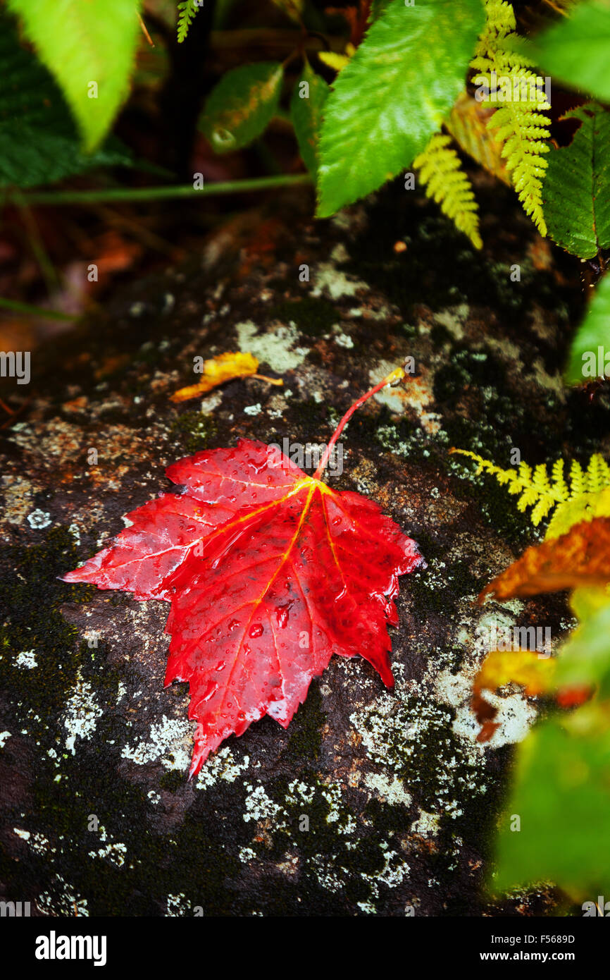 Red maple leaf on stone; concept of autumn, New England in the Fall; New Hampshire USA - Stock Image