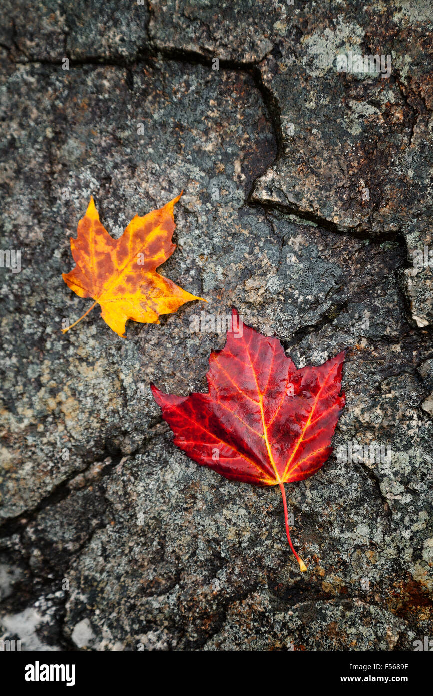 Red and yellow maple leaves on stone; concept of autumn, New England in the Fall; New Hampshire USA - Stock Image