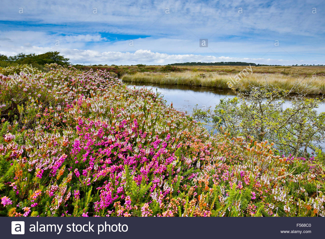 Bray's Cot Pool; Heather in Flower Goonhilly; Cornwall; UK - Stock Image