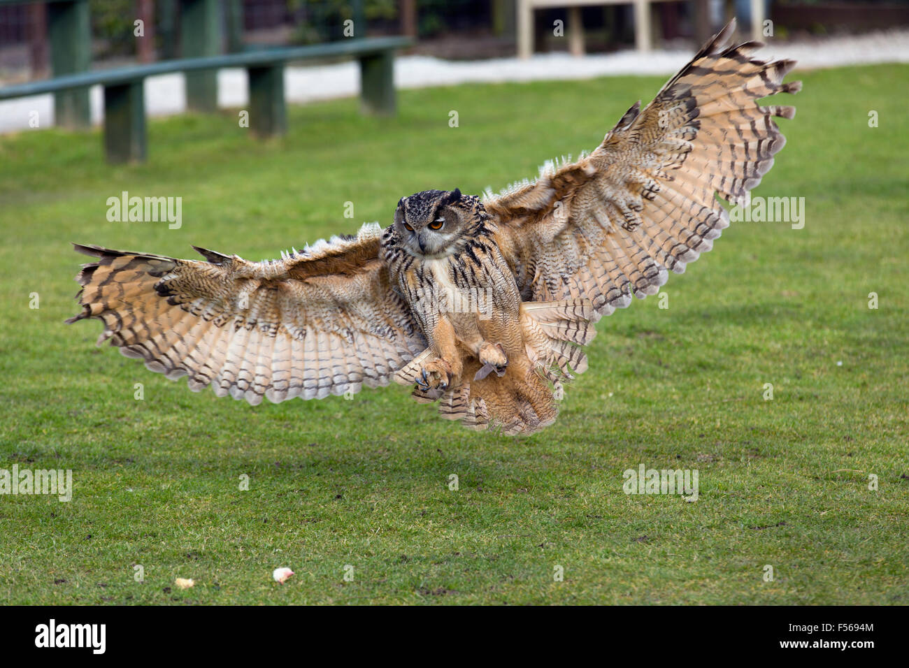 Eagle Owl; Bubo bubo Single Captive Landing; Devon; UK - Stock Image