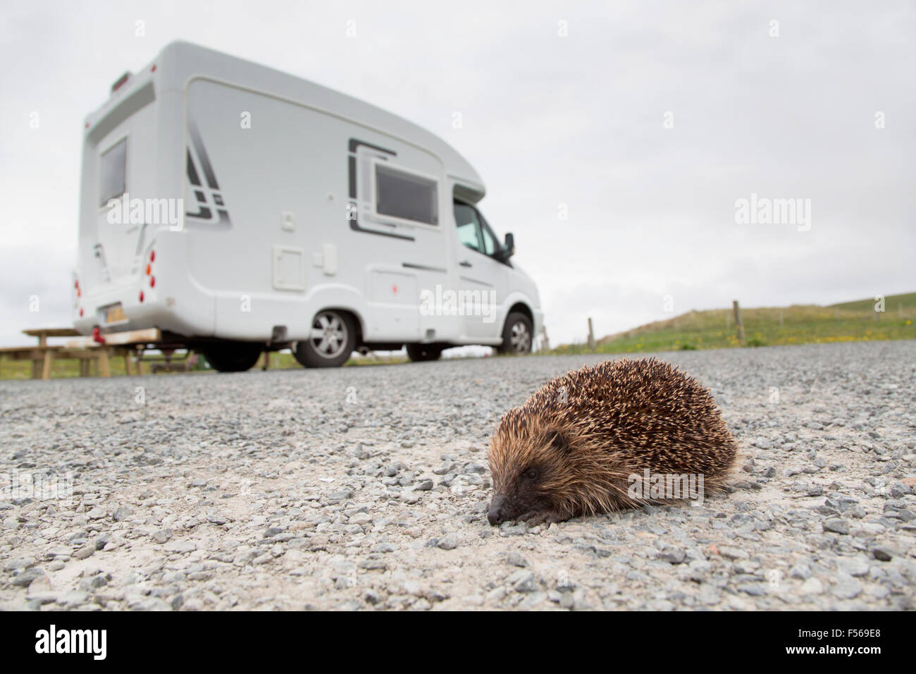 Hedgehog; Erinaceus europaeus Single With Campervan; Yell; Shetland; UK - Stock Image