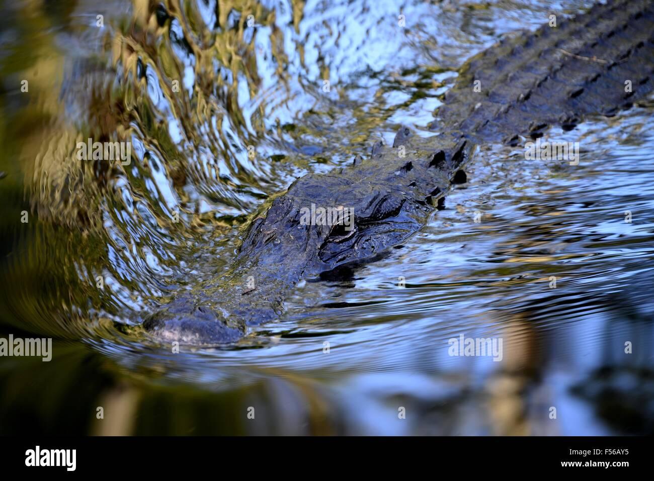 Florida Gator! - Stock Image