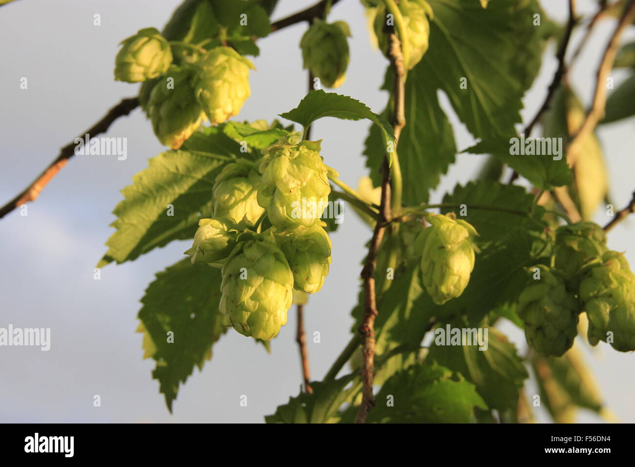 Fuggles Hops - being grown in for beer making in Yorkshire, England. Shows bine cliimbing through a plum tree and - Stock Image