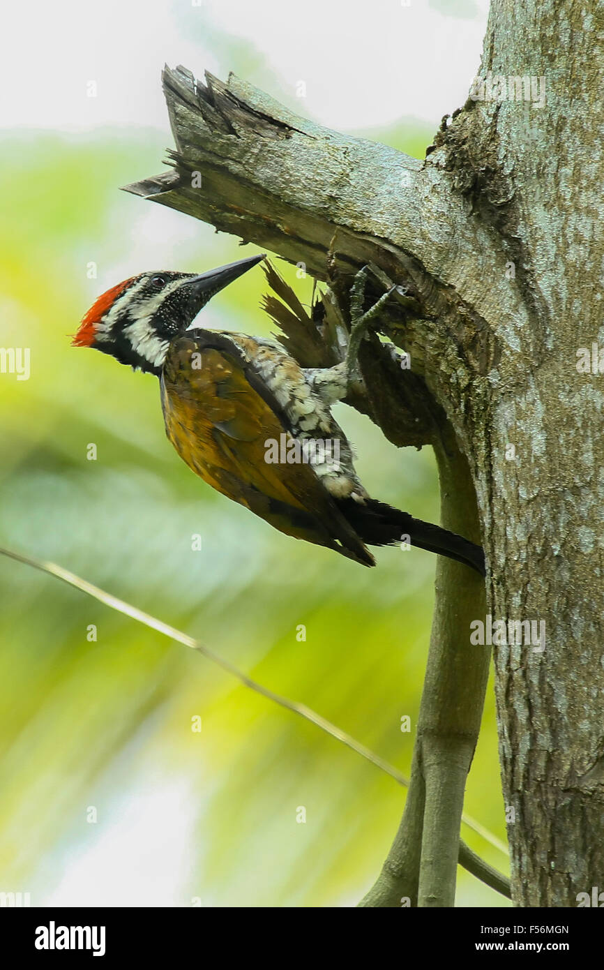 Beautiful woodpecker bird, a male of Greater Flameback (Chrysocolaptes lucidus) - Stock Image
